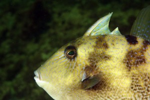 2. gray_triggerfish