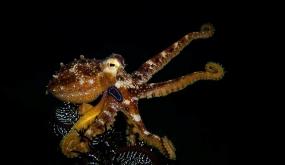 EL PULPO MOTOTI o PULPO OCELADO VENENOSO (Amphioctopus siamensis) (Octopus Mototi, Poison ocellate octopus). UNA DE LAS ESPECIES MARINAS MÁS VENENOSAS