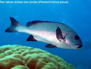 1. Pez labios dulces con pintas (Plectorhinchus picus)