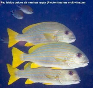 1. Pez labios dulces de muchas rayas (Plectorhinchus multivittatum)