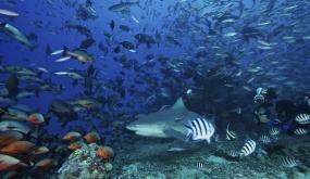 "EL ""FIJI SHARK CORRIDOR"": EL MAYOR SANTUARIO DE TIBURONES DEL PLANETA EN EL LAGOON DE BEQA (VITI LEVU, FIJI)"