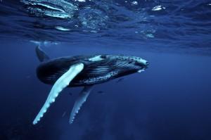 1. Jorobada. humpback_whale