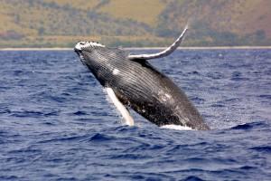 4. Humpback_whale_noaa (1)